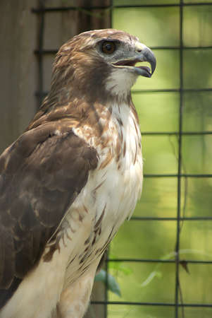 shouldered: Red Shouldered Hawk in aviary cage beak open tongue out