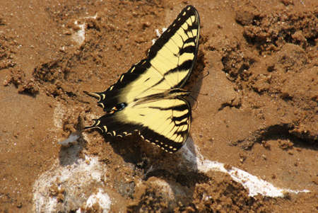 Eastern Tiger Swallowtail butterfly on sand in a footprint