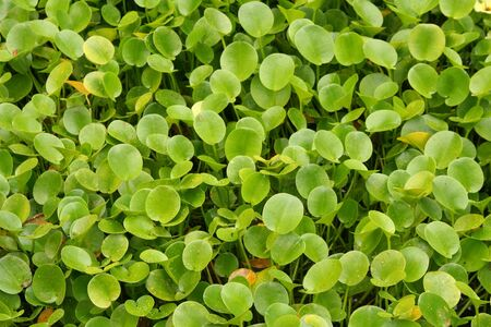 Green water hyacinth leaves growing in a pond