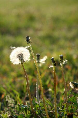 Paardebloemen die zaden in de zon vrijgeven