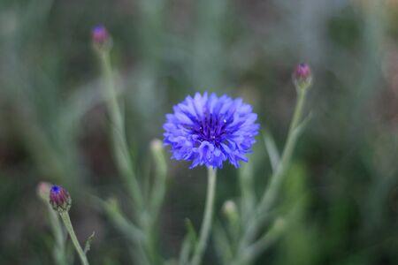 corn flower: Blue corn flower and buds Stock Photo
