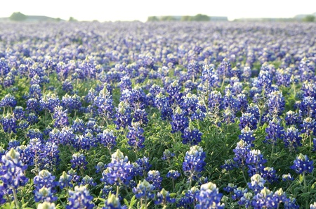 A large field of bluebonnets Stock Photo