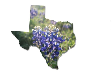 bluebonnet: Texas bluebonnets