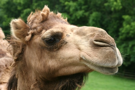 Close-up van een kameel Stockfoto