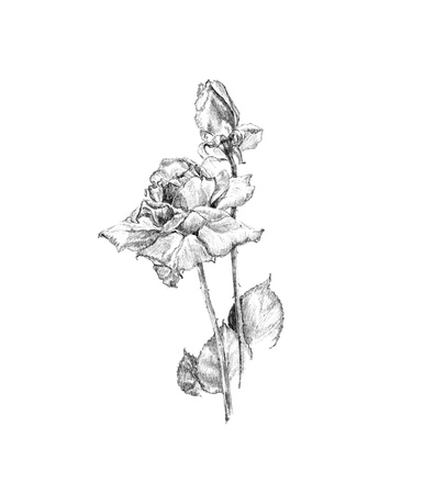 hand drawn flower: Hand drawn roses