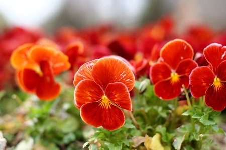 pansies: Red pansies