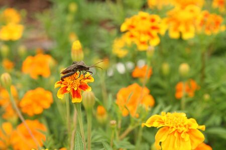 Insect on marigolds