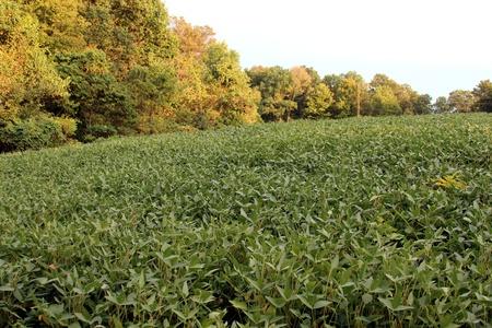 Soybean field on a hill