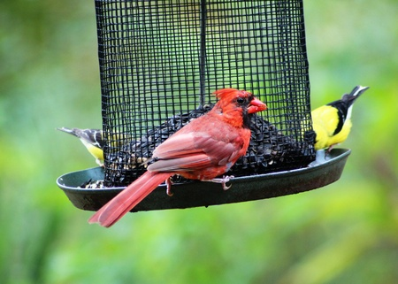 bird feeder: Cardinal and finches Stock Photo