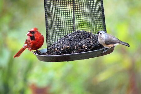 bird feeder: Nuthatch and cardinal
