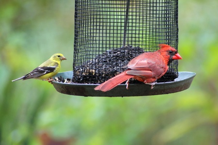 bird feeder: Finch and cardinal