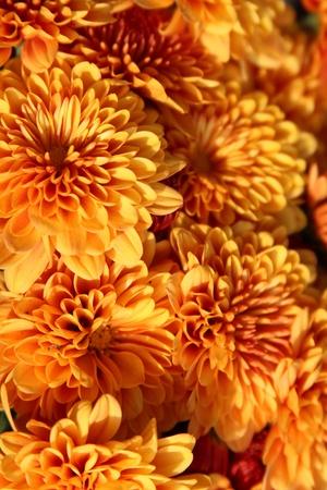 mums: Orange chrysanthemums Stock Photo