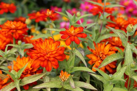 Rood, oranje en paars zinnia Stockfoto