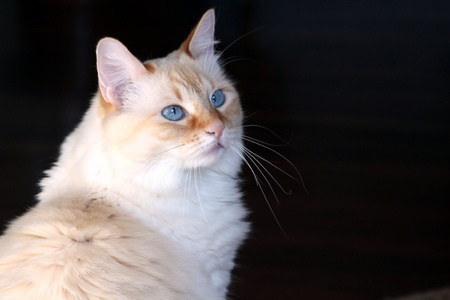 blue siamese cat: Blue eyed flame point siamese cat Stock Photo