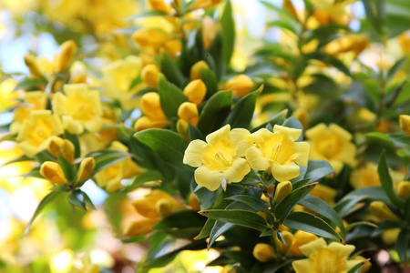 Carolina Jessamine flowers