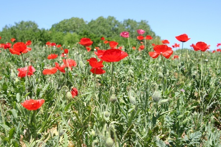 Field of red poppies Stock Photo - 12929920