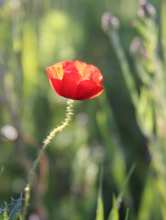 Red poppy in evening sun Stock Photo - 12929919
