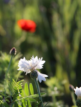White cornflower and red poppy in the background Stock Photo - 12928525