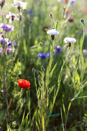 Red poppy and blue and white cornflowers photo