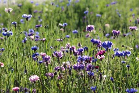centaurea: Blue cornflowers in a meadow