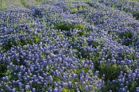 lupine: Field of Texas bluebonnets