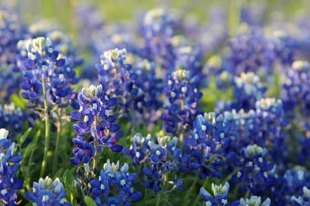 Bright bluebonnets