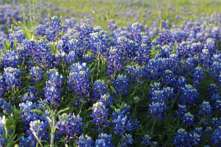 Field of Texas bluebonnets