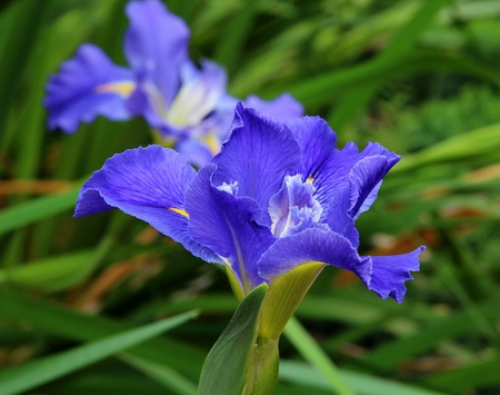 Two iris flowers Stock Photo - 13406231
