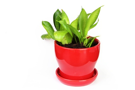 Sansevieria in a red pot