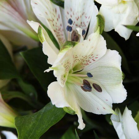 White lilies Stock Photo - 13597083