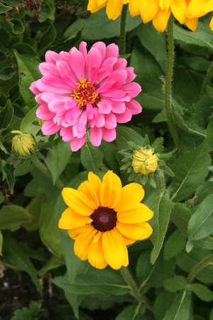 susan: Black-eyed susan flowers