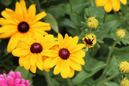 hirta: Three black-eyed susan flowers