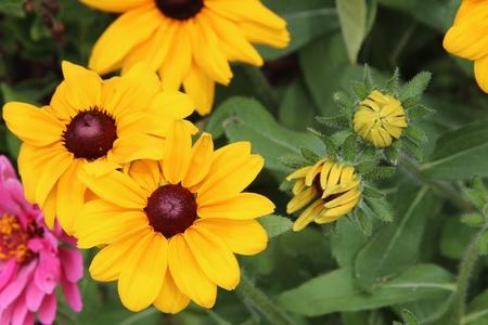 hirta: Black-eyed susan flowers