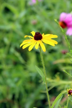 hirta: Single yellow flower Stock Photo