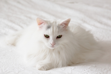 longhaired: Resting white cat on a white background