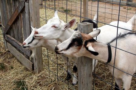 Three goats Stock Photo - 18981863