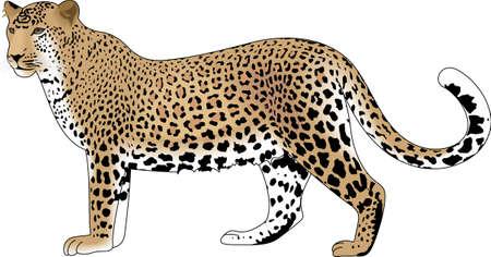 표범은 정글의 상징이다. 이 밖에 정글입니다 단어 연극이 이미지를 사용합니다.
