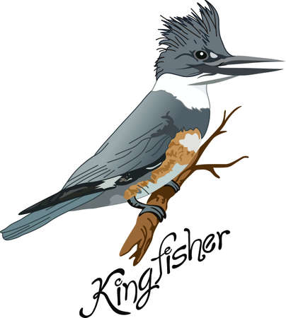 birding: The belted kingfisher is a cute bird.  Take him with you when you go birding.  A beautiful design from Great Notions. Illustration