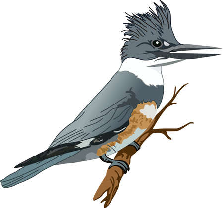 birdies: The belted kingfisher is a cute bird.  Take him with you when you go birding.  A beautiful design from Great Notions. Illustration