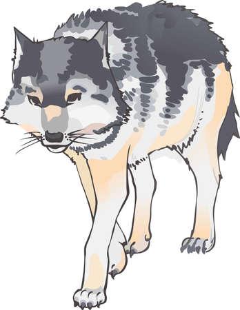 De majestueuze wolf is de koning van de bergen. Dit is een mooi overzicht te voegen aan uw ontwerp.
