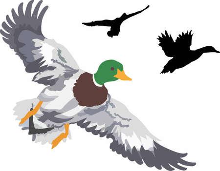 mallard: Put a beautiful duck on caps and clohting. Illustration