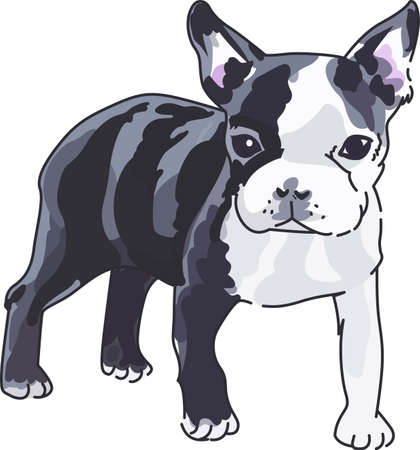 boston terrier: Dog lovers will enjoy this Boston terrier puppy.