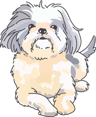 A cute shih tzu is a wonderful addition to any dog lover's project. Zdjęcie Seryjne - 45297766