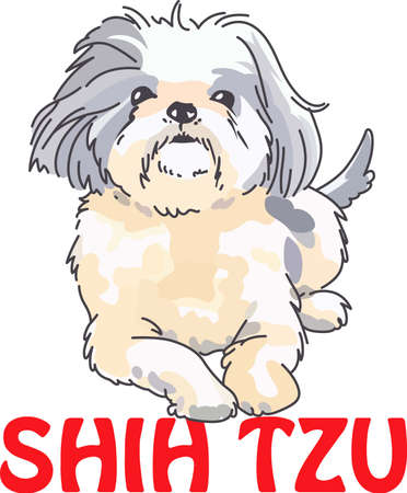 pure bred: A cute shih tzu is a wonderful addition to any dog lovers project.
