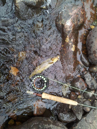 brown trout: A brown trout caught on a fly in the river by the rod