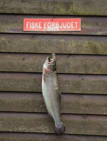 poaching: Poached rainbow trout hung at a wall below the prohibition sign