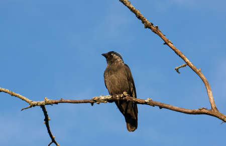 corvidae: A black jackdaw is sitting on a branch