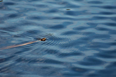 colubridae: European grass snake swimming in the water mirror Stock Photo