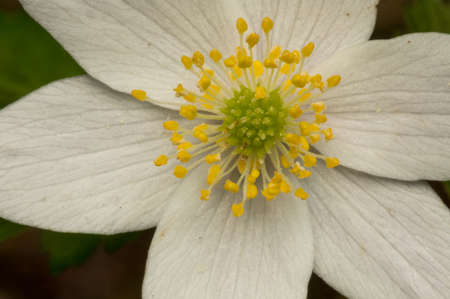 windflower: Thimbleweed blooming, also called windflower or smell fox. Stock Photo
