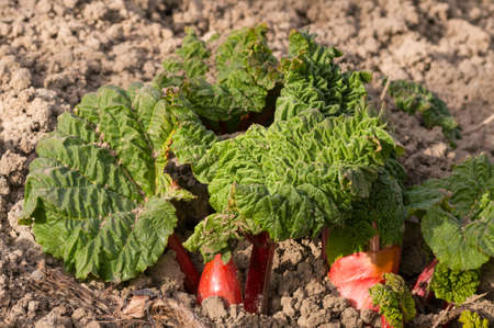 rheum: Rhubarb stalks growing  up from the bare soil. Stock Photo